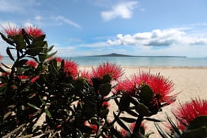 Pohutukawa trees in bloom at Kohimarama beach in Auckland, New Zealand