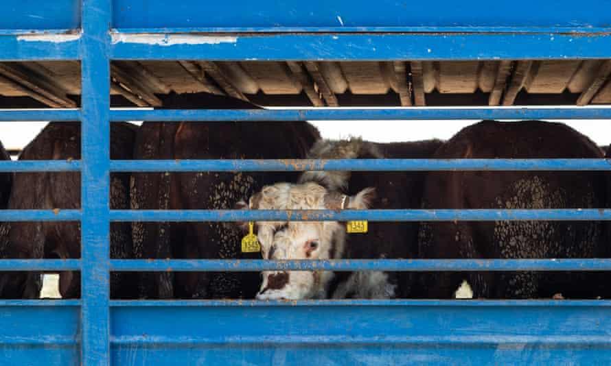 Cattle on trucks leaving the Bahijah