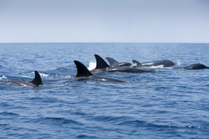 As the orca continued their attack, the sperm whales changed formation, bringing their heads into the middle, tails outwards,