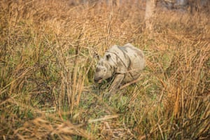 The identified rhino for the translocation is an adult male about 12 years of age.