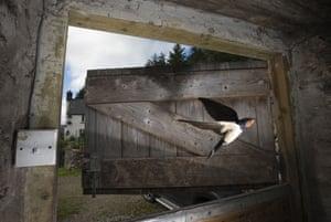 A barn swallow flies in through a stable door near Corwen, Wales, UK