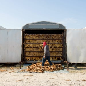 Lucama, North Carolina, US. A seasonal worker in front of a tobacco curing barn at Sullivan Farms