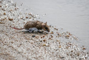 A mouse stands on the edge of flood waters as the Cottonwood and Wahoo creeks overflow their banks, in Wahoo, Neb., Wednesday, March 13, 2019.
