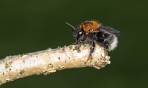Tree Bumblebee (Bombus hypnorum), a recent colonist of Britain, perched on a stick in a suburban Norfolk garden