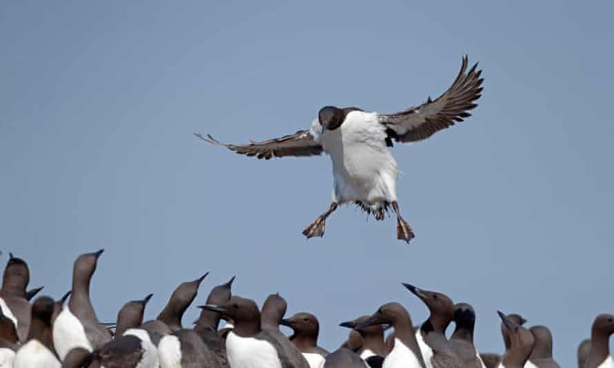Guillemot landing