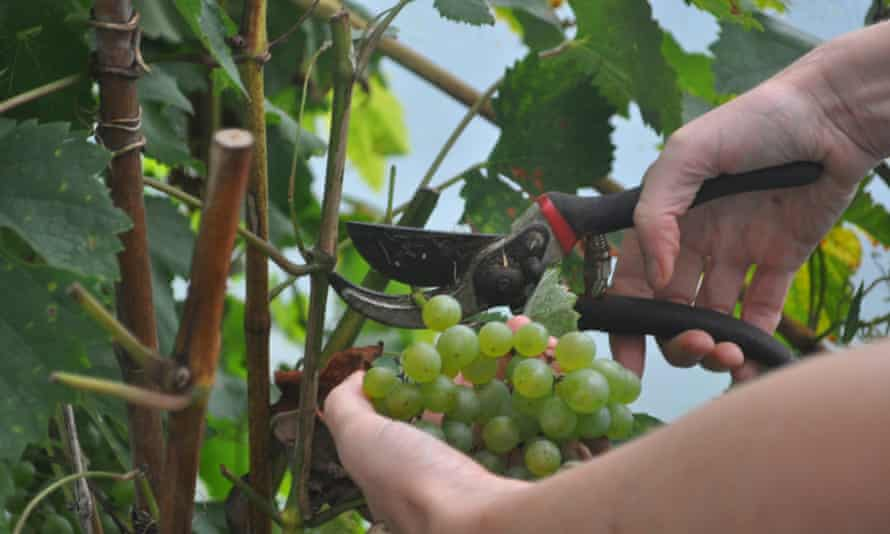 Picking grapes in the polytunnel