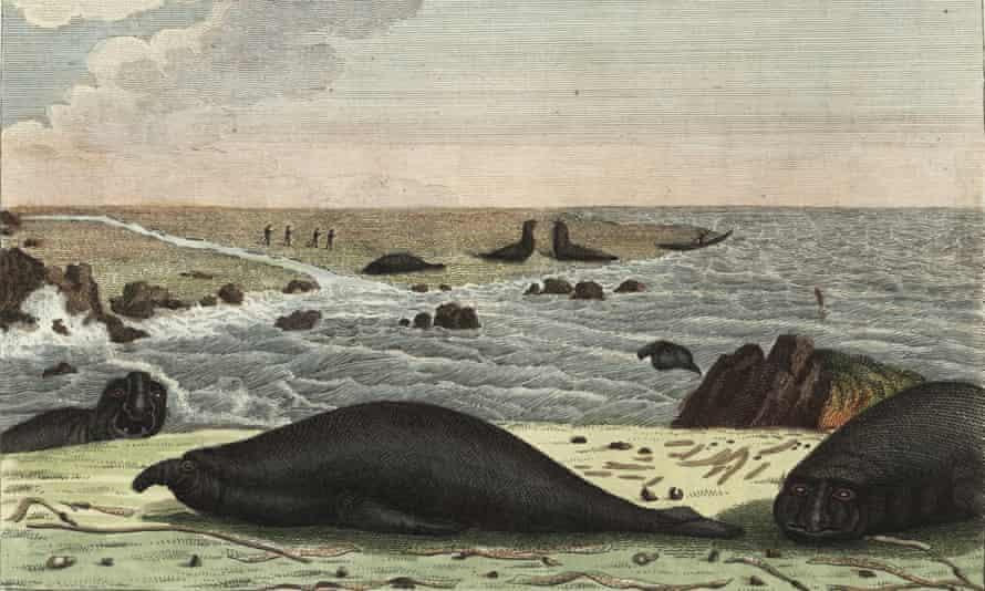 'On Kerguelen Island, 2,600 miles below Australia, a bull elephant seal inflates its 15-inch snout in a lusty roar'