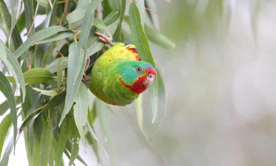The swift parrot is found nowhere else on the planet.