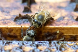 Bees try to escape a poisoned beehive at an apiary in Santa Fe de Antioquia, Colombia. Hundreds of hives have disappeared in recent years in Colombia and official investigations point at Fipronil, a pesticide prohibited in Europe and restricted in China.