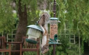 A grey squirrel, Sciurus carolinensis, feeding on garden bird feeders
