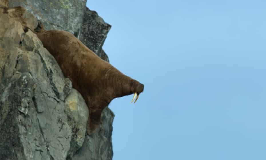 'The first time, you can't take it in' ... a walrus going off a cliff in Netflix's Our Planet.