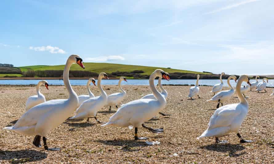 Marching swans at feeding time, Abbotsbury Swannery, Dorset, UK.
