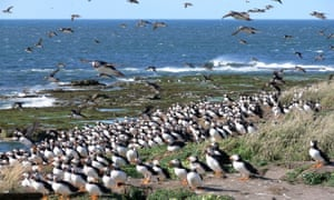 Puffins on Coquet Island, Northumberland.