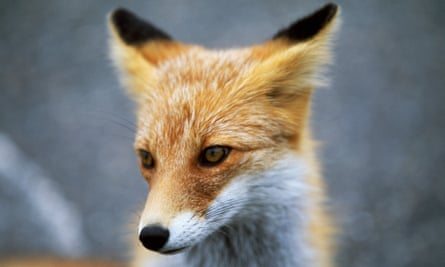 A Japanese red fox