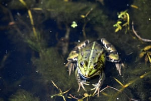 A frog in the drought-hit Landes pond in Lussat, central France.