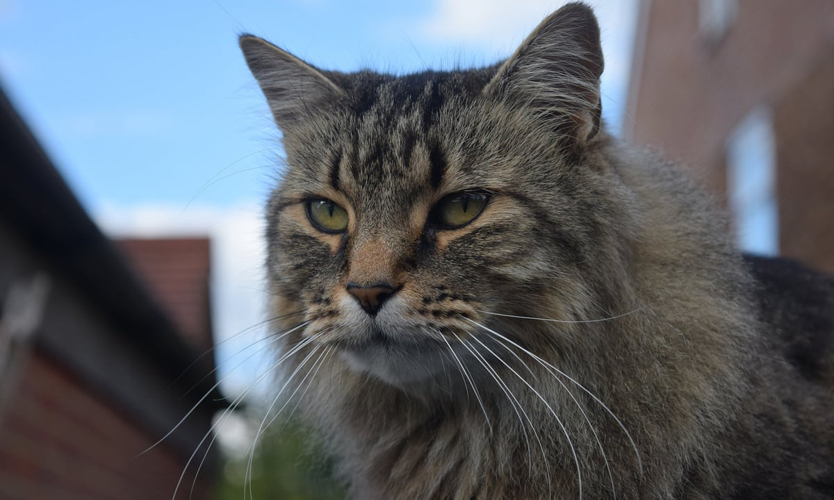 We Found The First Cat In The Uk With Covid 19 But There S No Need To Panic Willie Weir Opinion The Guardian