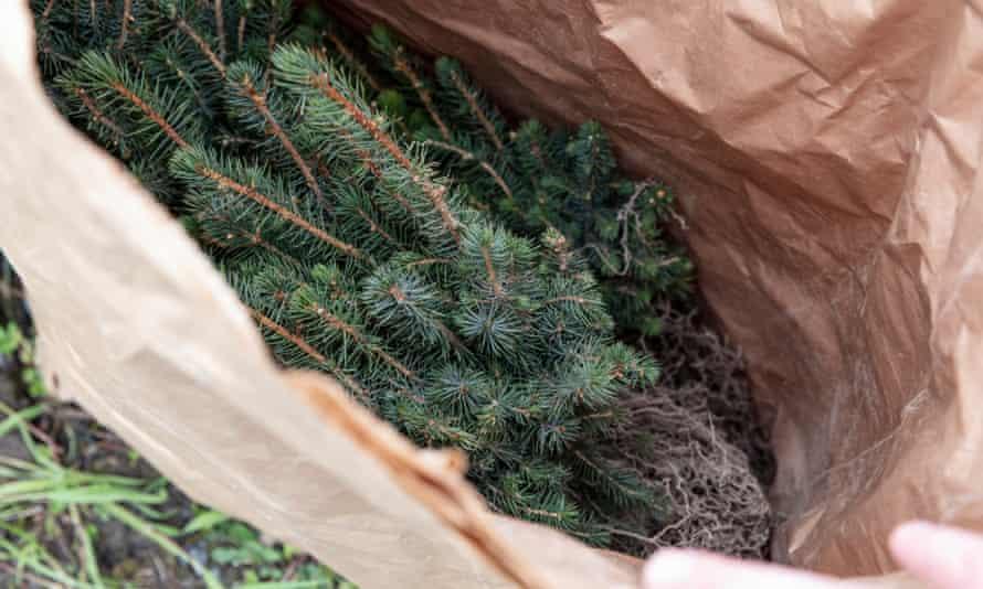 Sitka spruce needles