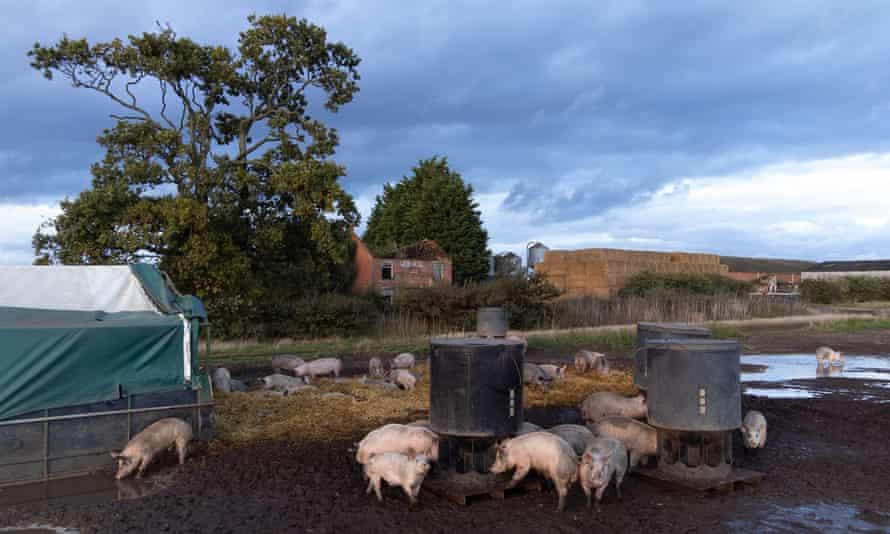 A pig farm in Norfolk