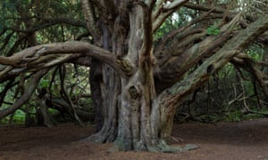 The Great Yew in Kingley Vale, whose branches form a large canopy.