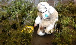 Researcher Dr Alex Murphy releasing bumblebees, surrounded by tomato plants, some of which are infected with cucumber mosaic virus.
