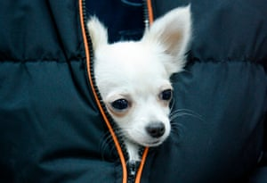 A Chihuahua is held by its owner as they arrive at an international dog show in Belgrade