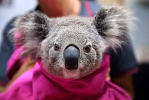 A koala named Lisa from Pappinbarra recovers from burns at The Port Macquarie Koala Hospital on November 29, 2019