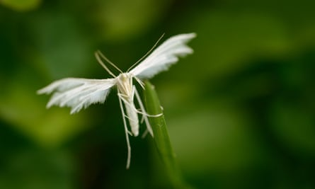 The white plume moth has the appearance of a tiny angel.