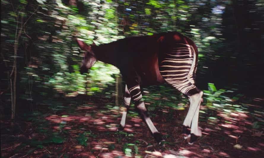 An okapi fitted with radio collar to gather data in the Ituri forest, Democratic Republic of Congo.