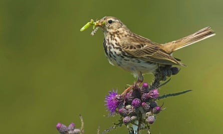Meadow pipit (Anthus pratensis) have disappeared from sites in south england.