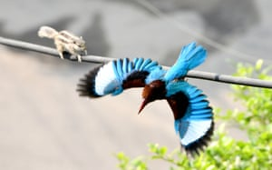 A squirrel crosses a wire while a kingfisher flies away in New Delhi, India