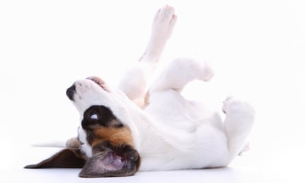 Saint Bernard puppy rolling on its back on white background