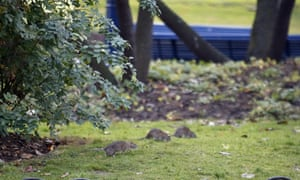 Rats scurry across the lawn in the Saint Jacques Tower park in the centre of Paris