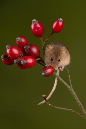 Harvest mouse rosehip by Sarah Butcher