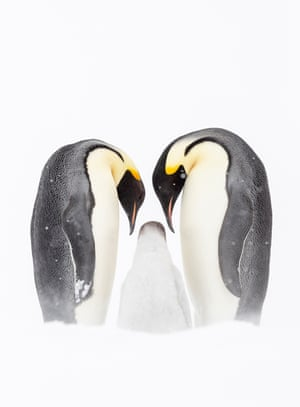 Penguins with their chick