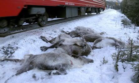 A train passes by dead reindeer near Mosjoen, northern Norway