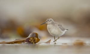 A knot foraging among seaweed on a beach in the Shetland Islands
