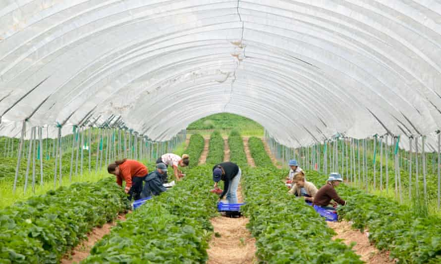 strawberry field and pickers