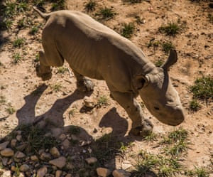 A two-week-old female black rhino – the first rhino to be born in a German zoo in 2016 – takes a stroll around her enclosure.