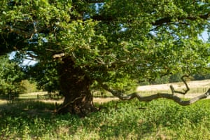 The old oak that appears on the 1882 map