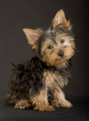Yorkshire terrier puppy pet dog