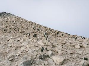 Blue-eyed shags and Snowy Sheathbills line the cliffs of Paulet Island