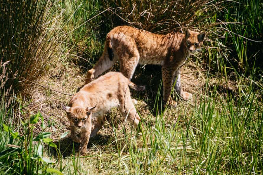 Two lynxes on the farm