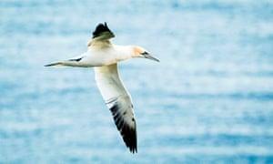 A gannet at the RSPB nature reserve at Bempton Cliffs