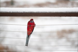 A crimson rosella clings to a fence at Jindabyne