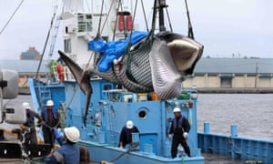 Workers unload a captured minke whale at a port in Kushiro