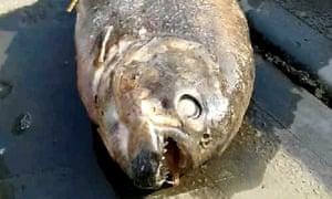 A suspected piranha