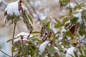Goldfinches in a snowy garden, Burley in Wharfedale, West Yorkshire, UK