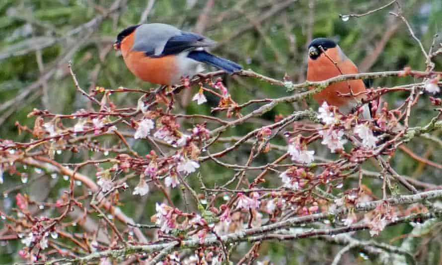 Bullfinches among cherry blossom
