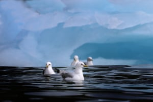 In the North Water Polynya, large populations of seabirds are found – like the Kittiwake