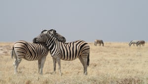 In Etosha national park, Namibia, two zebras stood out from the herd as they seemed so happy together